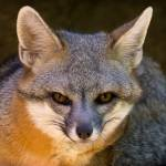 Gray_Fox Profile Picture