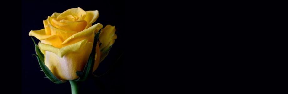 Gelbe Rose (Das Original) Cover Image