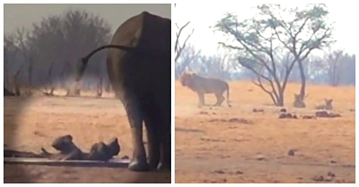 Video: lions circle trapped baby elephant and its panicked mom, but here comes the help - Jesus is LIFE