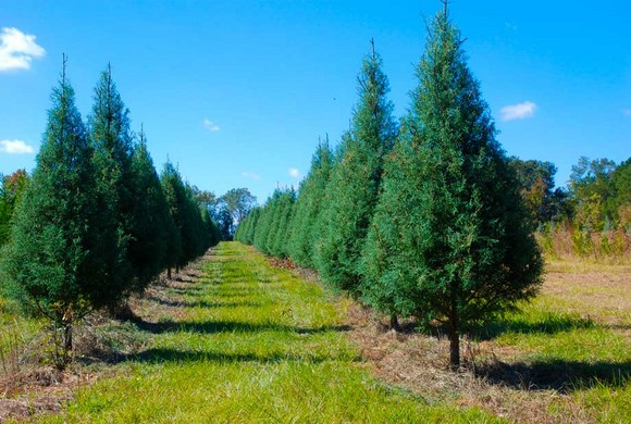 City retaliates against brothers who want to grow Christmas trees - WND