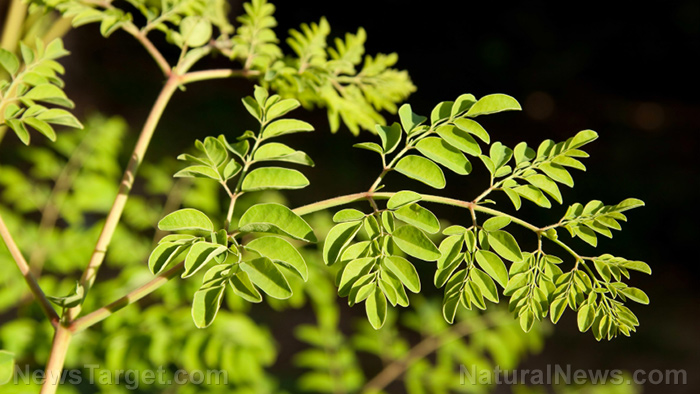 "Truly the ""miracle tree,"" moringa boosts immunity and has powerful hepatoprotective effects – NaturalNews.com"