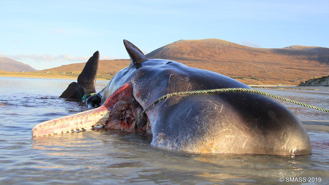 Sperm whale found dead on Scottish island 'explodes' during necropsy, had 220 pounds of trash in stomach | Fox News