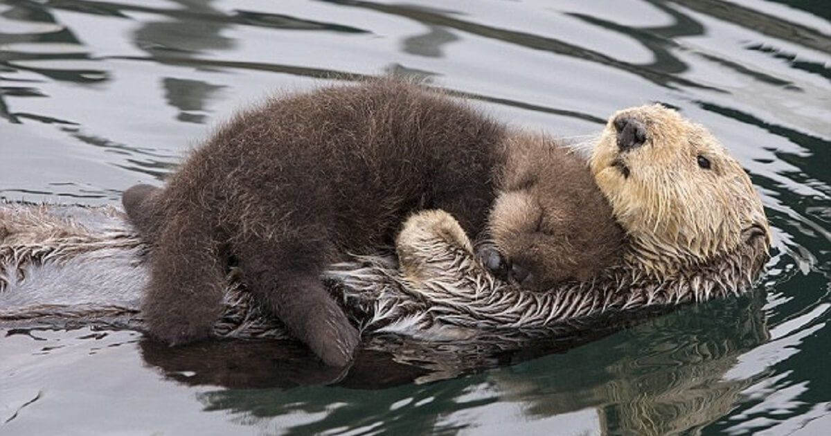 Mother Otter Carries Her Baby On Her Belly To Keep It Dry And Warm While Swimming – Cats My Life