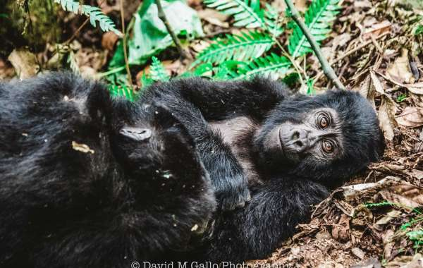 Things You Need To Know About The Gorilla Trekking In Uganda