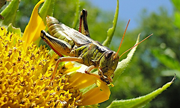 2nd wave of locusts could hit one-third of world's nations, warning says - WND
