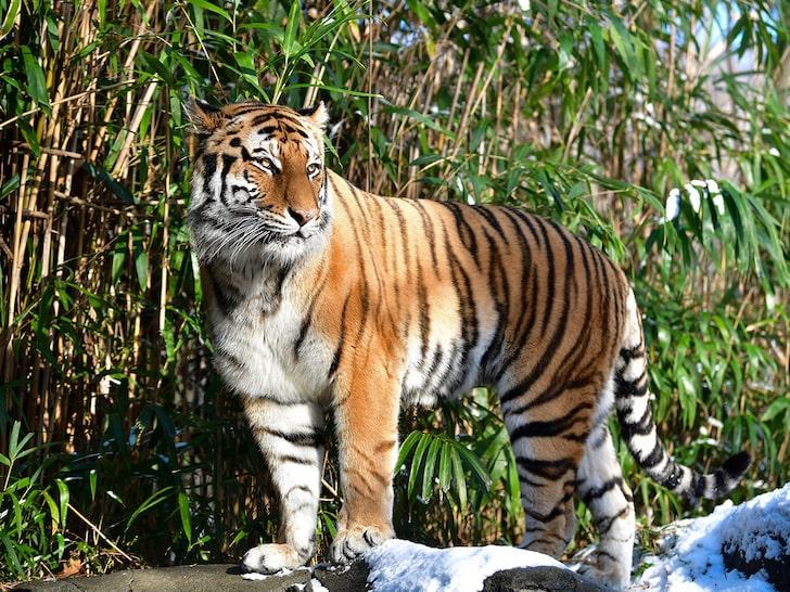 Bronx Zoo Tiger Tests Positive for Coronavirus, First U.S.-Based Animal - 10ztalk