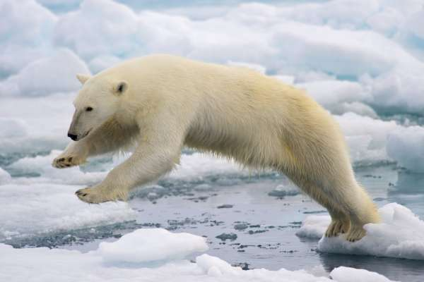 How the narrative on polar bears has become a problem for Arctic environmental groups - ArcticToday
