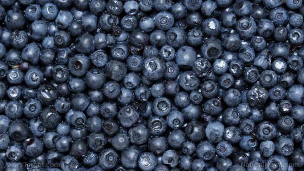 New research documents four important benefits of blueberries – NaturalNews.com