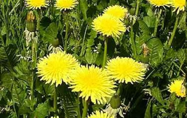 Dandelions are one of the most misunderstood plants in the plant kingdom