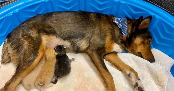 Rescue dog who lost her puppies adopts trio of orphaned kittens