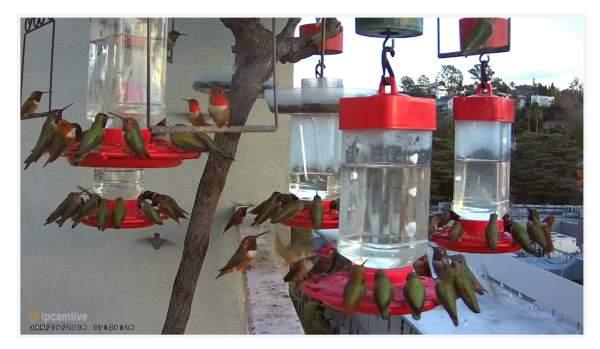 24 hour hummingbird live streaming by live cam | Hummingbird webcam