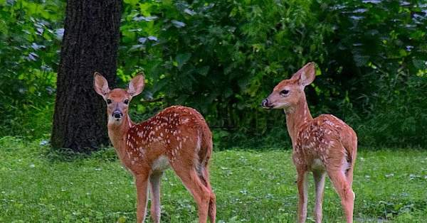 WATCH: Ohio Police Officers Rescue Two Young Deer from Private Pool