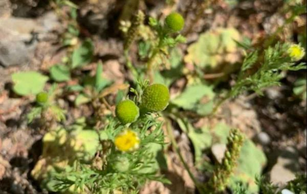 Pineapple Weed - A Useful & Readily Available Herb