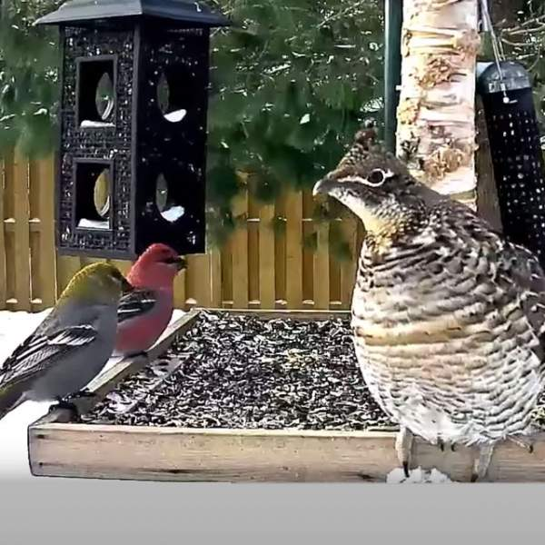 Ontario FeederWatch Cam | Cornell Lab Bird Cams Cornell Lab Bird Cams