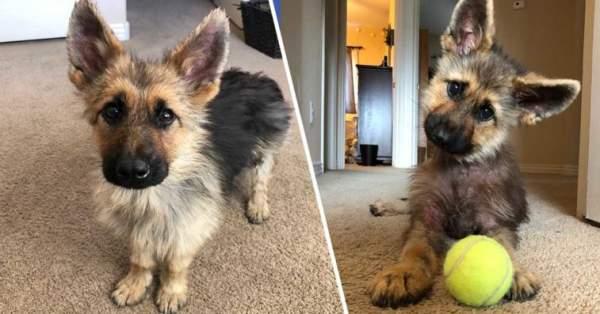 Meet Ranger, The Tiny German Shepherd With Dwarfism That Means He Will Look Like A Puppy Forever | Dogs Addict