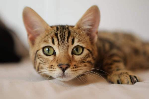CPR For Cats: What Every Cat Owner Should Know - Cole & Marmalade
