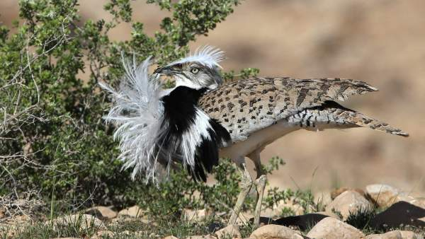Israel, UAE give wing to preservation of rare desert bird - ISRAEL21c