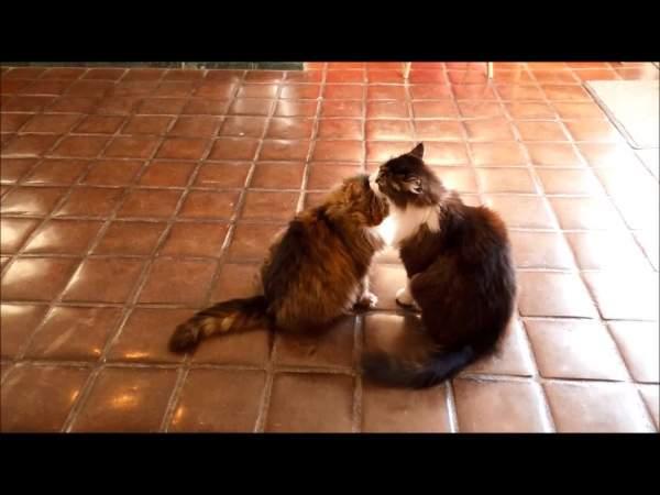 Maine Coon Cat Friends   Minds
