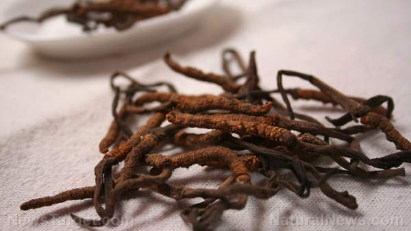 Cordyceps: A strange fungi packed with a lot of health benefits – NaturalNews.com