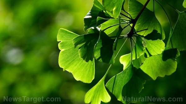 Men can boost brain health and enhance performance with ginkgo – NaturalNews.com