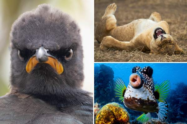 From flying penguins to laughing lions - Comedy Wildlife Photography finalists reveal amazing candid photos in the wild
