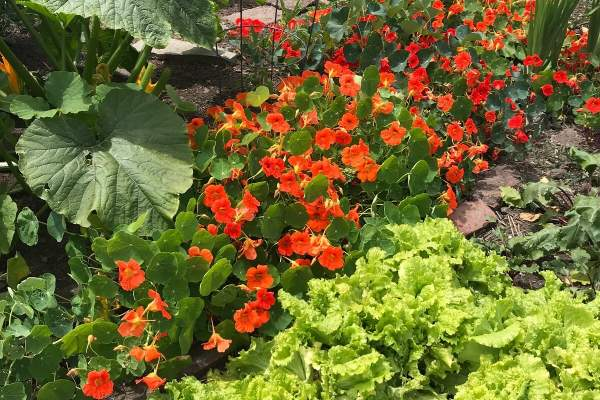 Edible Landscaping: The Basics And Plants To Get Started • Insteading