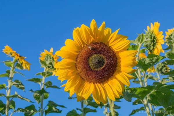 Survival medicine: How to grow and use sunflowers as food and medicine – NaturalNews.com