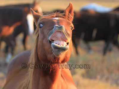 The Flehmen Response In Horses: What It Is, What It Isn't, and What It Looks Like