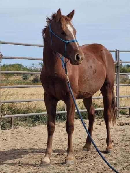 Yearling gelding - Grade Quarter Horse - For Sale